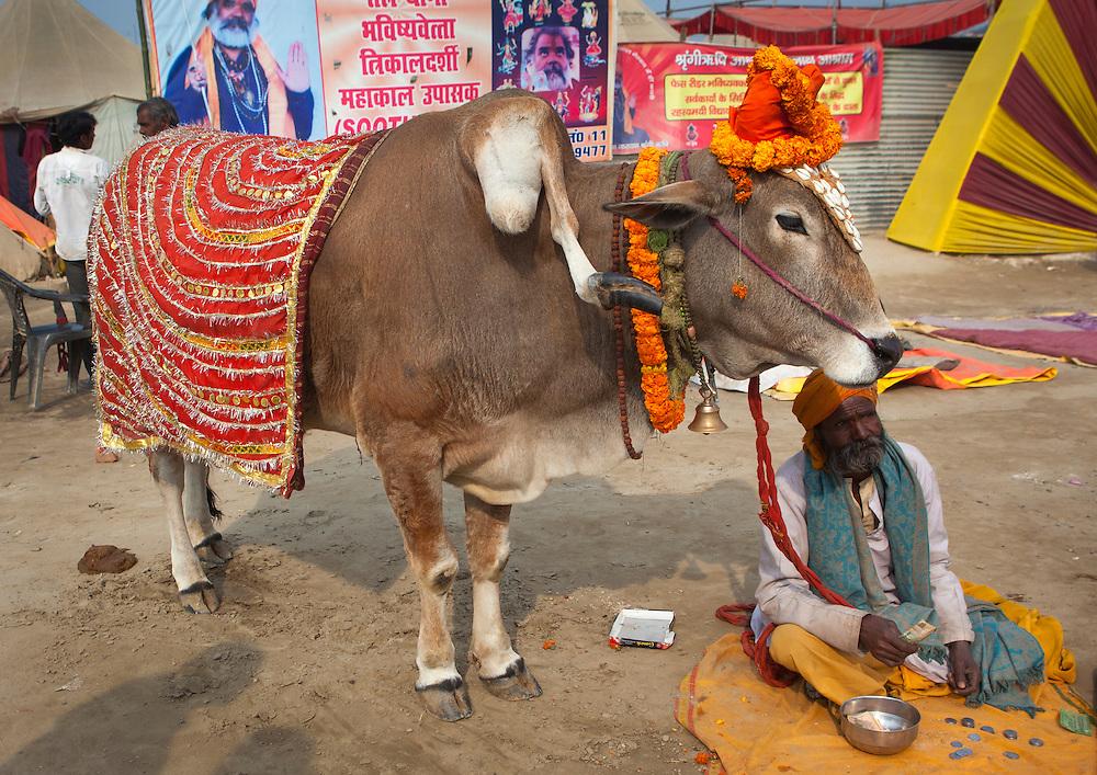 Sacred cow with five legs, Maha Kumbh Mela festival, world's largest congregation of religious pilgrims. Allahabad, India.