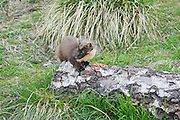 Pine marten pausing while eating peanuts at a feeding station at Aigas Field Centre.  Some of the proceeds  will be donated to the Aigas Trust, a registered charity providing environmental education to children.