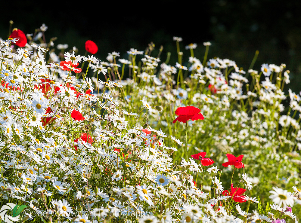 Flowering beside a road in Gloucestershire, these ox-eye daisies and poppies were photographed in early morning light.