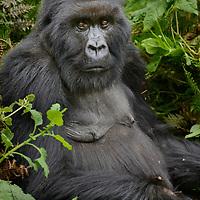 Mountain Gorilla (Gorilla beringei beringei). Ruhengeri, Rwanda.