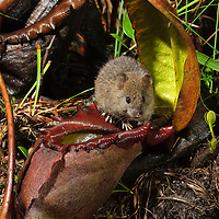 An infrared camera trap reveals a secretive nocturnal visitor to the giant pitchers of Nepenthes rajah. The Summit Rat (Rattus baluensis) is known only from the upper slopes of Mount Kinabalu in northern Borneo. New research has confirmed that this rodent shares a similar mutualistic relationship with these pitcher plants as the Mountain Treeshrew (Tupaia montana), by obtaining sweet nectar in exchange for their nitrogen-rich droppings. Sabah, Malaysia.