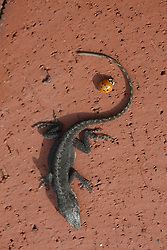 A small lizard was found dead outside the Kentucky Capitol, Wednesday, Feb. 03, 2010 at Capitol Building in Frankfort.