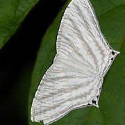 Micronia aculeata, a species of moth of the family Uraniidae