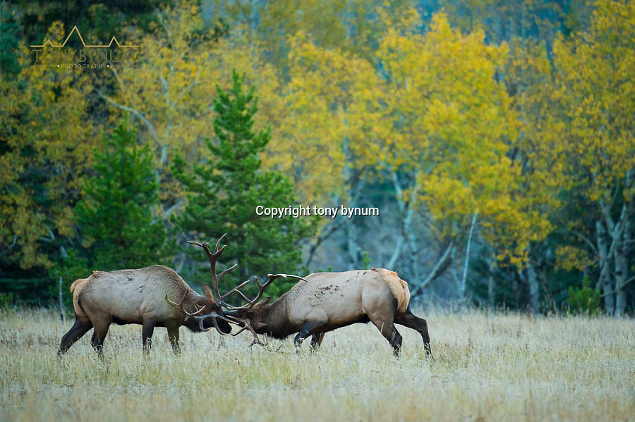 two bull elk sparing in grassy meadow in front of fall aspen colored trees