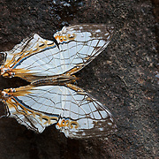 The Common Map Butterfly, Cyrestis thyodamas thyodamas. In Pang Sida National Park, Thailand.