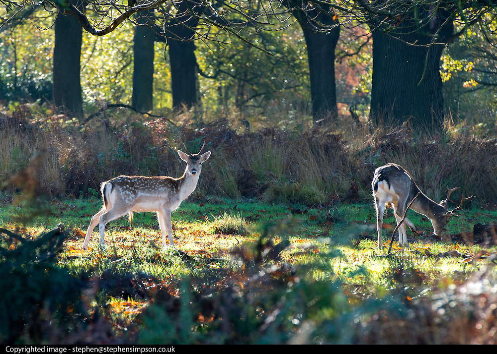 © Licensed to London News Pictures. 04/11/2014. Richmond, UK. Young deer graze in a clearing.  People and animals enjoy the warm sunshine in Richmond Park, Surrey today 4th November. Britain has experienced unseasonably warm weather recently.  Photo credit : Stephen Simpson/LNP