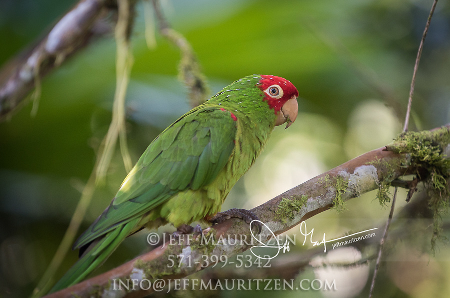 A Red-masked parakeet perches in a tree.