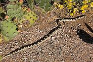Western Longnose Snake, Rhinocheilus lecontei