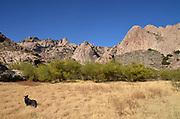 An Australian Cattle Dog explores Mendoza Canyon, Coyote Mountains Wilderness Area, Sonoran Desert, Arizona, USA,