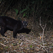 Melanistic Indochinese leopard (Panthera pardus delacouri) is a leopard subspecies native to mainland Southeast Asia and southern China.