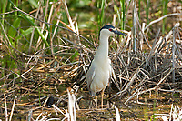 A Black Crowned Night Heron rests in the shade of a tree on the edge of a marsh pond on a warm spring morning!