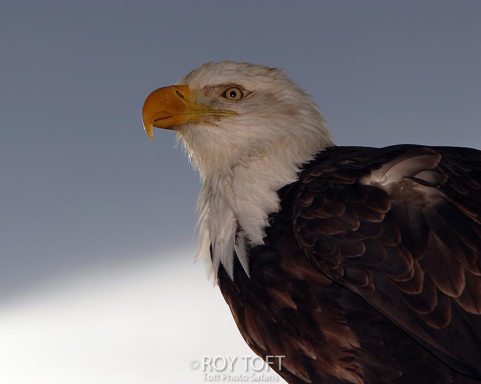 Close-up view of American bald eagle (Haliaeetus leucocephalus), Homer, Alaska.