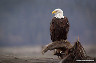 Bald Eagle<br /> Chilkat Bald Eagle Preserve, Alaska<br /> <br /> This Bald Eagle just finished dining on a meal of coho salmon and is now sitting on a snag along the Chilkat River, where it will remain until it's stomach contents are digested.<br /> <br /> Edition of 500