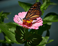 Monarch Butterfly on a Zinnia Flower. Image taken with a Fuji X-H1 camera and 80 mm f/2.8 macro lens (ISO 200, 80 mm, f/4, 1/2200 sec).