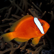 Female Tomato Anemonefish, Amphiprion frenatus, at Dumaguette, Philippines.