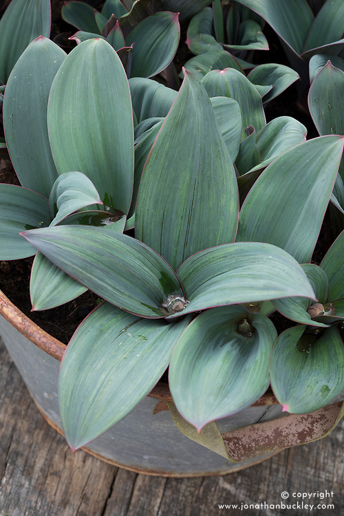 Allium karataviense AGM (Kara Tau garlic) in a metal galvanised container