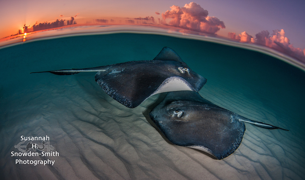 """Two Stingrays At Sunrise"" - Stingray Sandbar, Grand Cayman"