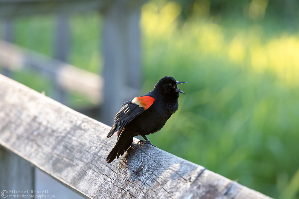 A Male Red-winged Blackbird (Agelalus phoeniceus) singing from a boardwalk handrail at Elgin Heritage Park in Surrey, British Columbia, Canada