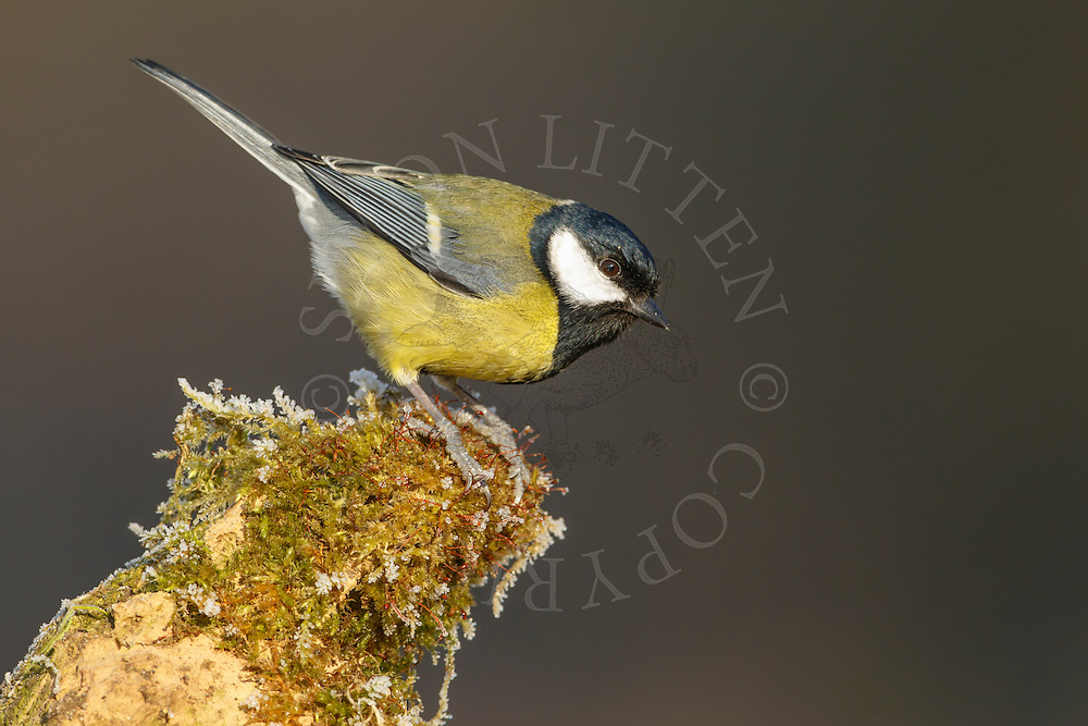 Great Tit (Parus major) adult, perched on weathered stone, South Norfolk, UK. January.