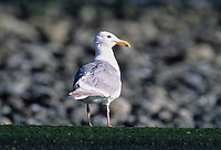 Glaucous-winged Gull (Larus glaucescens), Goose Spit, Courtenay, British Columbia, Canada - Photo: Peter Llewellyn