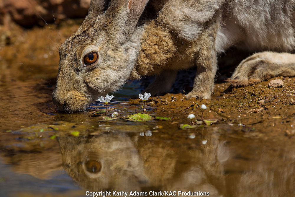 Antelope jackrabbit; Lepus alleni; drinking, reflection, Sonoran Desert; Arizona, Summer
