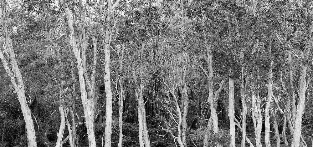 Malaleuca (Paperbark) trees, North Stradbroke Island, Queensland, Australia