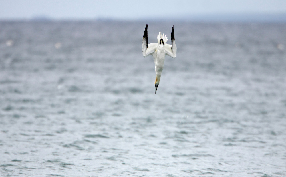 Gannet diving, (Sula bassana) Saltee Islands Ireland