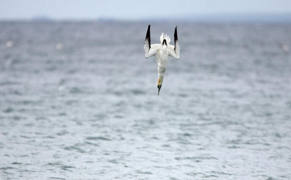 Gannet diving, (Sula bassana) Saltee Islands Ireland