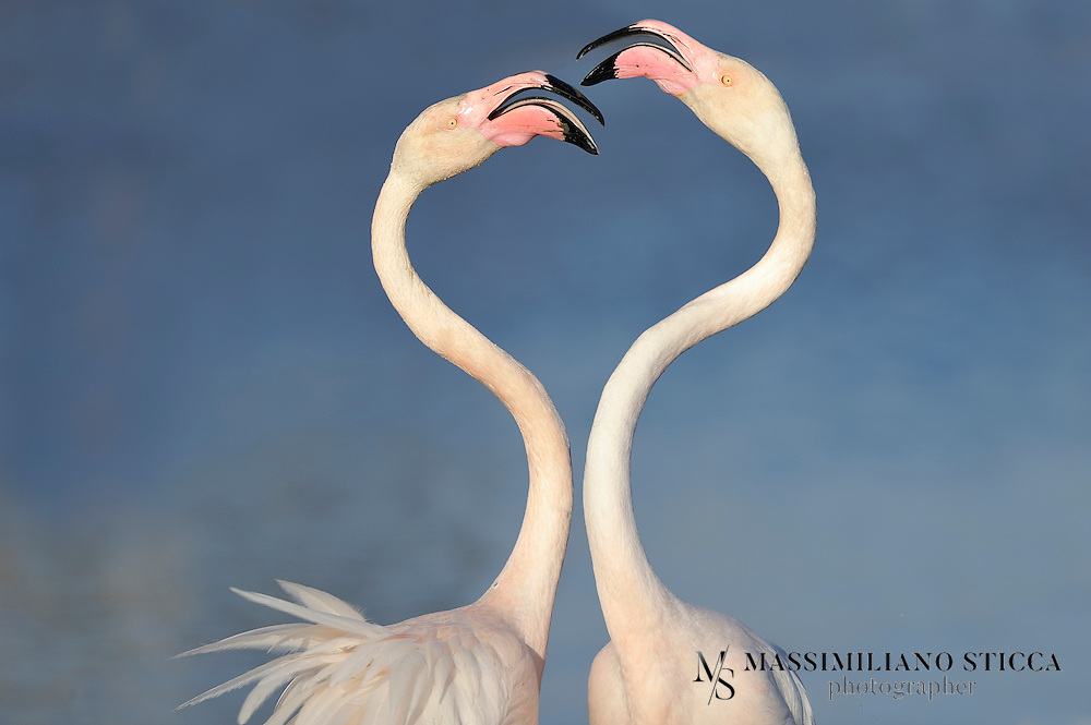Two Greater Flamingo (Phoenicopterus roseus) fighting for love, Camargue (France)<br />