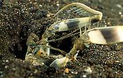 Der Fangschreckenkrebs versucht, die auf dem rechten Fangbein aufgespießte Beute rückwärts zum Höhleneingang zu ziehen. Auf den Stacheln seines linken Fangbeines stecken noch die beim Angriff durchbohrten Schuppen des erbeuteten Fisches. | Mantis Shrimp (Lysiosquillina maculata)