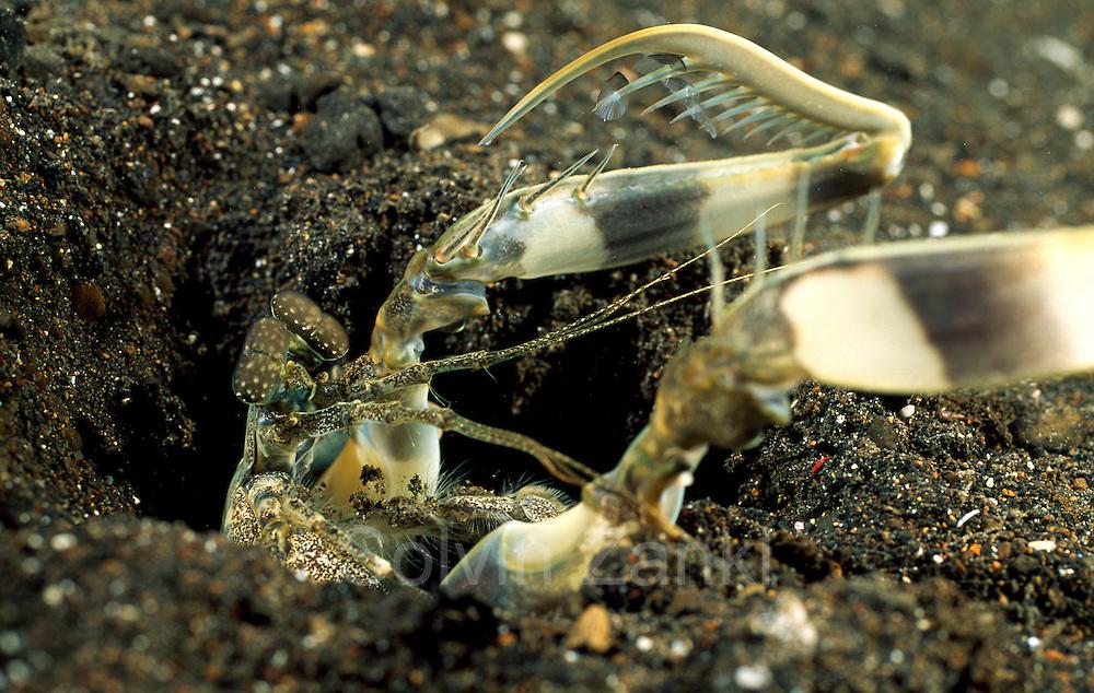 Der Fangschreckenkrebs versucht, die auf dem rechten Fangbein aufgespießte Beute rückwärts zum Höhleneingang zu ziehen. Auf den Stacheln seines linken Fangbeines stecken noch die beim Angriff durchbohrten Schuppen des erbeuteten Fisches.   Mantis Shrimp (Lysiosquillina maculata)