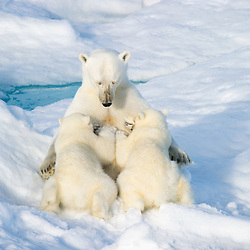 The polar bear mother seems to fall into a meditative state as she is nersing her two cubs. Location: Barents Sea of the  eastern coast of Nordaustlandet, Northeast Svalbard, Arctic Europe