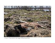 10/4/05:  Dead cow in storm surge of Hurricane Rita.