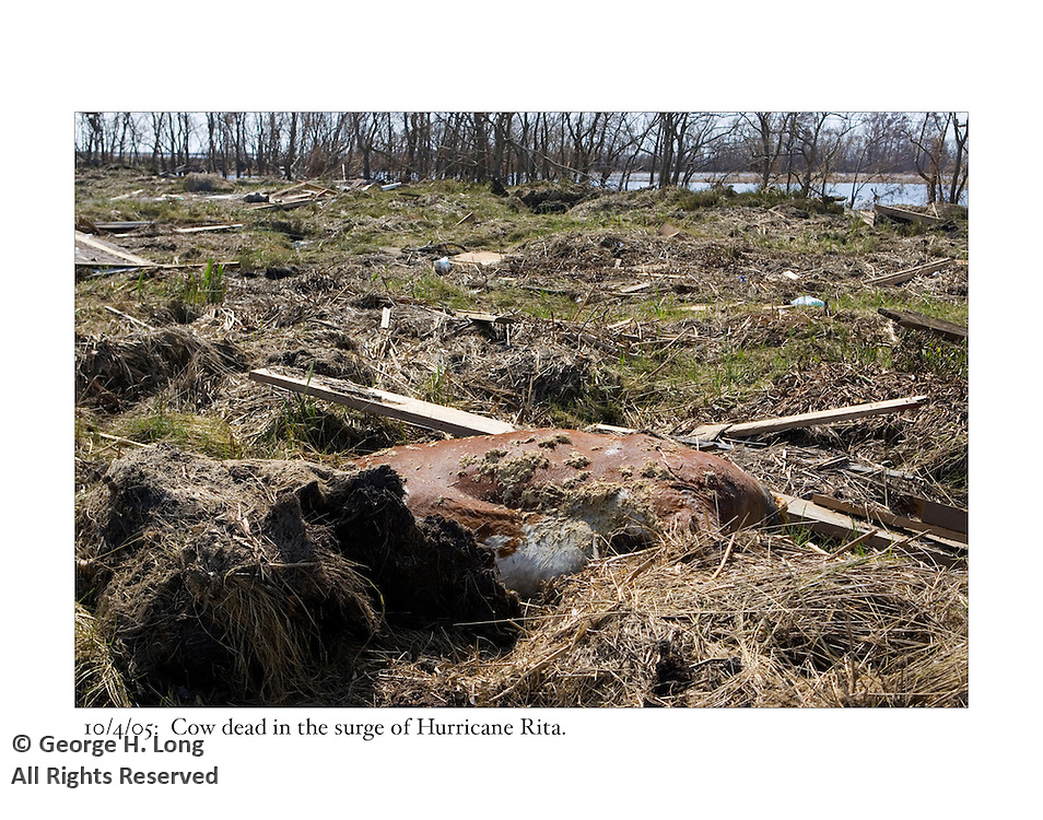 10/4/05:  Dead cow in storm surge of Hurricane Rita.
