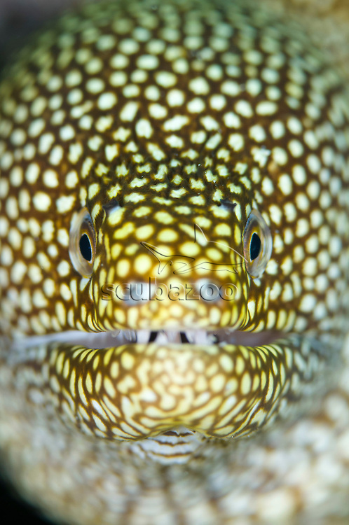 White-mouth moray eel, Gymnothorax meleagris, Close up portrait, Kapalai, Sabah, Borneo, Malaysia