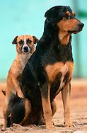 PRT, Portugal: Streunender Hund, Haushund (Canis lupus familiaris), kleines Weibchen versucht ein großes Männchen zu besteigen, Quarteira, Algarve | PRT, Portugal: Stray dog, domestic dog (Canis lupus familiaris), small female trying to mount a big male, Quarteira, Algarve |