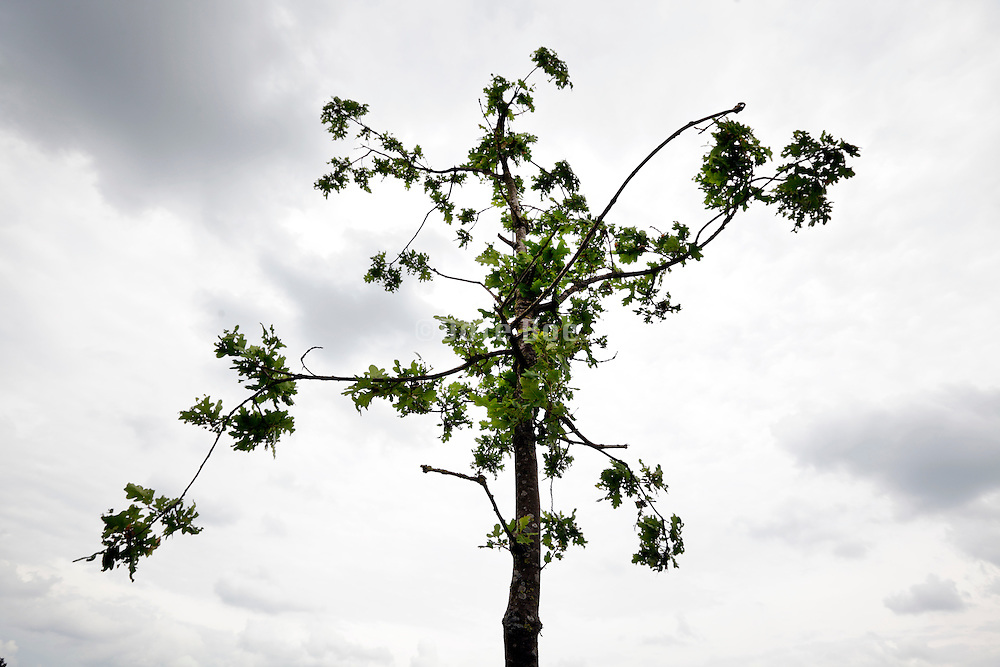 young sprouting oak tree with darkening clouds