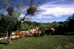 group of longhorn cattle on a trail