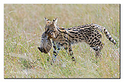 Mother serval cat carrying her cub through the long grass of the savanna in Maasai Mara, Kenya. Nikon D850, 200-400mm @ 400mm, f4, 1/2500 sec, ISO500, Aperture priority