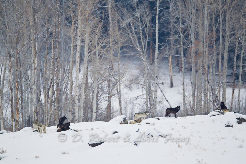 Pack of wolves in Yellowstone National Park