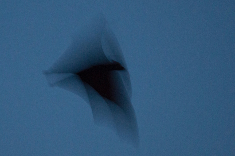Portrait of the flight of the fruit bat in motion, Pine Creek, Northern Territory, Australia.