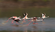 Lesser flamingoes taking off from the surface of Lake Bogoria, Kenya.