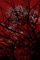 Abstract or tree branches in twilight. Blood red.