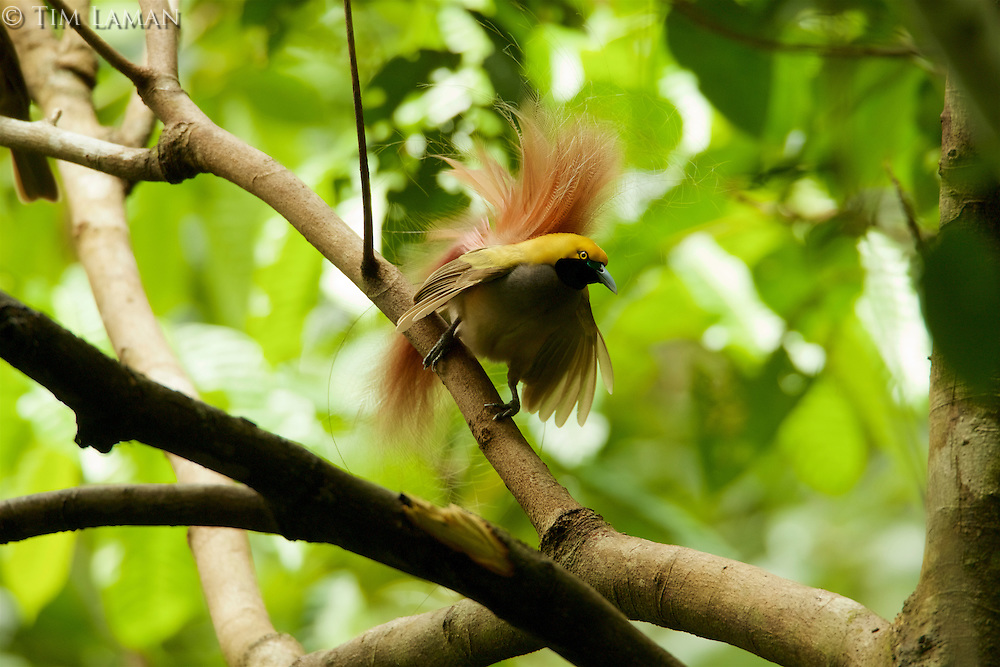 Goldie's Bird of Paradise (Paradisaea decora)<br />