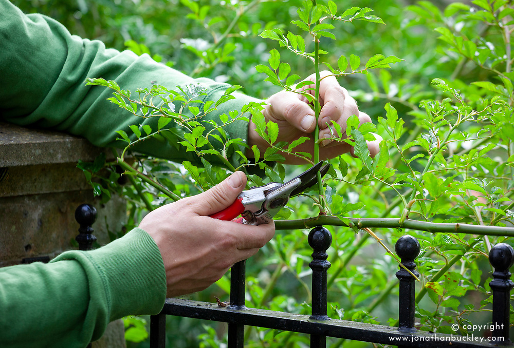 Autumn pruning of roses. Cutting back rose side shoots to two buds from their base in autumn.
