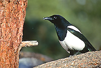 """Black-billed Magpie (Pica pica) A 20"""" bird boldly marked with black and white; long tail; black bill;  Wings and tail are iridescent, and sometimes appear greenish, Found in open ares with trees and shrubs, western USA."""