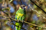 The Australian Ringneck Parrot is also known as the Twenty-eight Parrot.