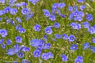 blue Flax in the wind in the Little Missouri National Grasslands, North Dakota, USA