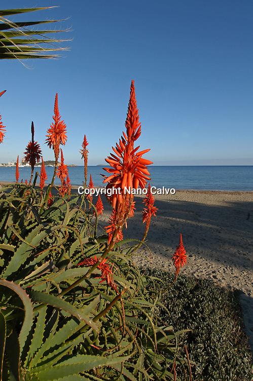 Aloe Vera in bloom, Santa Eulalia del Rio, Ibiza