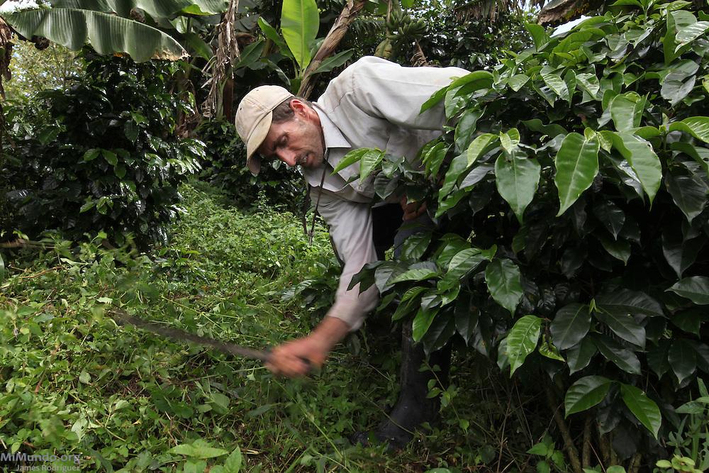 Mauricio Fallas Mota, member of COOPEDOTA, weeds around his coffee plants. COOPEDOTA, Santa María de Dota, San José, Costa Rica. September 7, 2012.